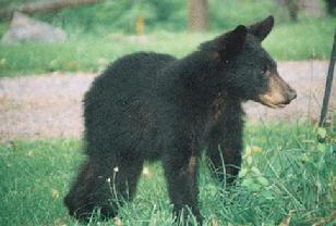 Baby bear cub, by Bruce Andrew Peters, GreatWriteUp.com